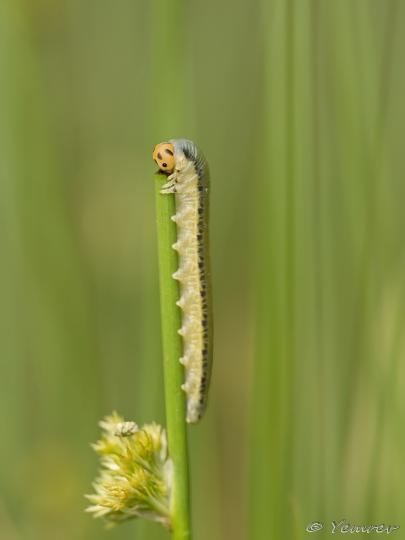 16 Bladwesp larve