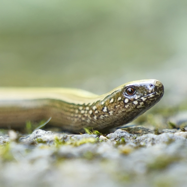20 Hazelworm